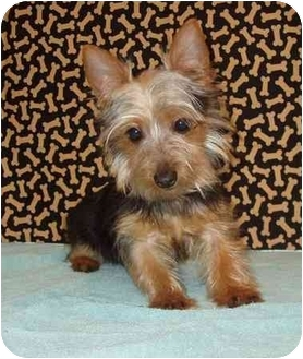 Terrier yorkie mix puppy