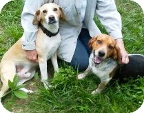 Beagle Dog for adoption in Indianapolis, Indiana - Tailpipe