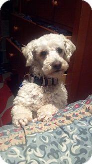 Scottie, Scottish Terrier/Poodle (Miniature) Mix Dog for adoption in Irvine, California - BO