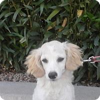 Adopt A Pet :: Collette - Phoenix, AZ