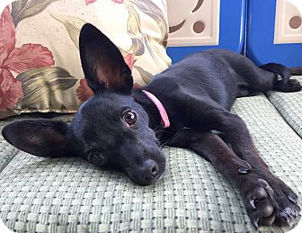 Chihuahua Mix Puppy for adoption in San Diego, California - Binx
