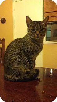 Domestic Shorthair Cat for adoption in Toronto, Ontario - Hazel