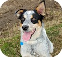 Australian Cattle Dog Dog for adoption in Tinton Falls, New Jersey - Scoobey