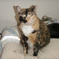 Calico Cat for adoption in Midway City, California - Misty