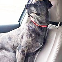 Great Dane Dog for adoption in San Diego, California - Giacomo