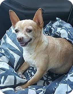 Chihuahua Mix Dog for adoption in Mesa, Arizona - Gizmo