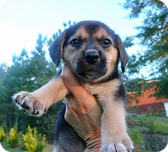 Beagle Mix Puppy for adoption in Portsmouth, New Hampshire - Lil Sister-ADOPTION PENDING
