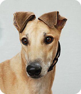 Greyhound Dog for adoption in Ware, Massachusetts - Elko