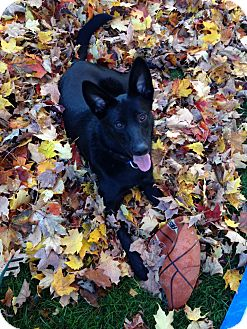 Shepherd (Unknown Type) Mix Dog for adoption in Woodstock, Ontario - Onyx