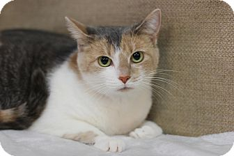 Domestic Shorthair Cat for adoption in Midland, Michigan - Kleow