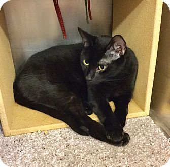 Domestic Shorthair Cat for adoption in Colmar, Pennsylvania - Sidd