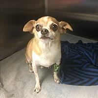 Adopt A Pet :: Pico - Phoenix, AZ