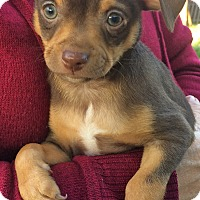 Adopt A Pet :: Courage - Simi Valley, CA
