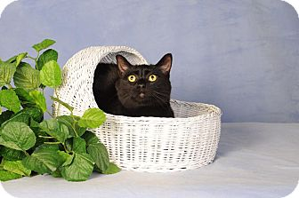 Domestic Shorthair Cat for adoption in mishawaka, Indiana - Donny