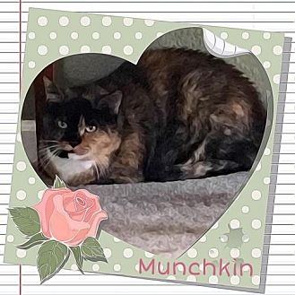 Calico Cat for adoption in Westminster, Colorado - Munchkin - courtesy listing