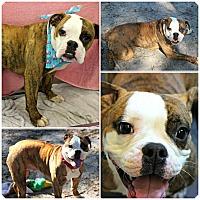 Adopt A Pet :: Savannah - Forked River, NJ