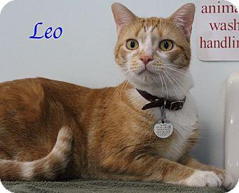 Domestic Shorthair Cat for adoption in Bradenton, Florida - Leo