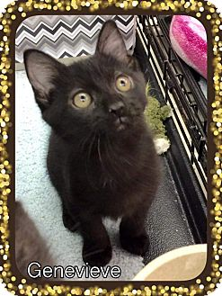 Bombay Kitten for adoption in Atco, New Jersey - Genevieve
