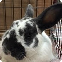 Adopt A Pet :: Pinto - San Antonio, TX