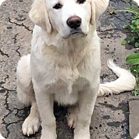 Great Pyrenees Mix Puppy for adoption in Beacon, New York - Molly in NY / pup - pending
