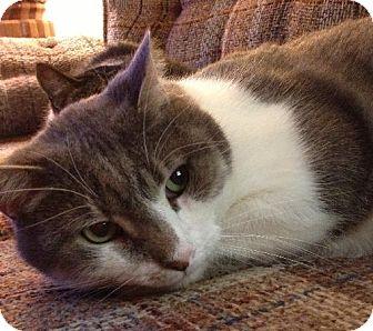 Domestic Shorthair Cat for adoption in Pekin, Illinois - Mitchell - $25 Adoption Fee