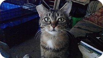 Domestic Shorthair Cat for adoption in Toronto, Ontario - Badger