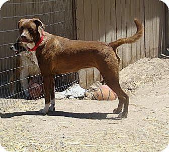 Boxer/Australian Shepherd Mix Dog for adoption in Pie Town, New Mexico - MARI