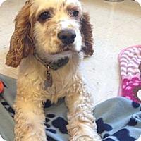 Adopt A Pet :: Gibson - Oceanside, CA