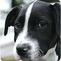 Adopt A Pet :: TIBBY - Houston, TX