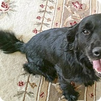 Adopt A Pet :: Irish URGENT - Sacramento, CA