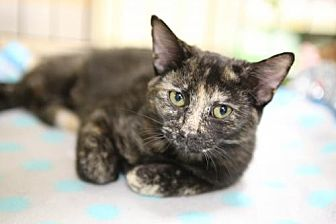 Domestic Shorthair Cat for adoption in Olive Branch, Mississippi - Marlee