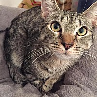 American Shorthair Cat for adoption in Toms River, New Jersey - Whiskey