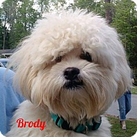 Adopt A Pet :: Brick NJ - Brody - New Jersey, NJ