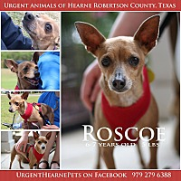 Chihuahua Mix Dog for adoption in Hearne, Texas - Roscoe