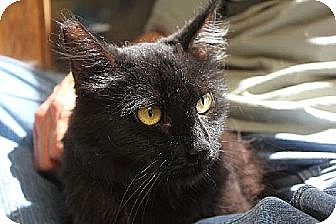 Maine Coon Cat for adoption in Los Angeles, California - Natasha