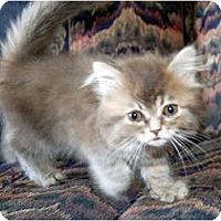 Adopt A Pet :: Little Boy Blue - Summerville, SC