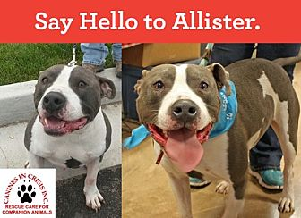 American Staffordshire Terrier Mix Dog for adoption in De Soto, Missouri - Allister