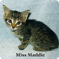 Adopt A Pet :: Miss Maddie - Bentonville, AR