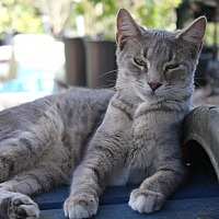 American Shorthair Cat for adoption in Morriston, Florida - gray