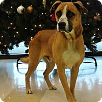 Adopt A Pet :: Bruno - Handsome Boxer Mix - Quentin, PA