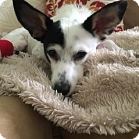 Adopt A Pet :: Lilly Belle - Tampa, FL