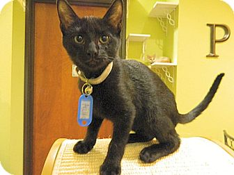 Domestic Shorthair Cat for adoption in The Colony, Texas - Archie