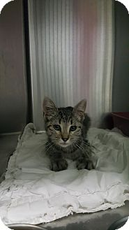Domestic Shorthair Kitten for adoption in Cody, Wyoming - Isadora