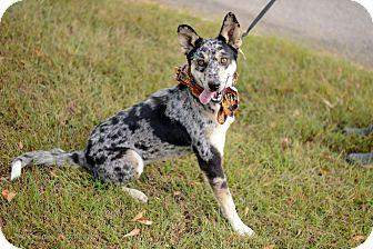 Australian Cattle Dog Mix Dog for adoption in Muldrow, Oklahoma - Tarrah
