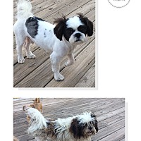 Adopt A Pet :: Charlie - San Antonio, TX