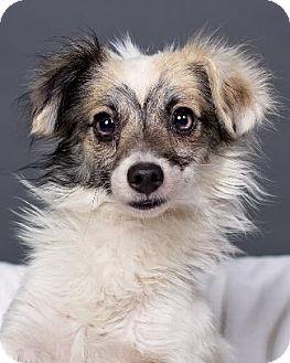 Papillon/Poodle (Miniature) Mix Dog for adoption in Pt. Richmond, California - WON-TON