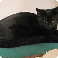 Domestic Shorthair Kitten for adoption in Woodstock, Illinois - Blackie
