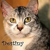 Adopt A Pet :: Destiny - Wichita Falls, TX