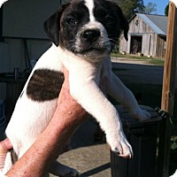 American Staffordshire Terrier Mix Puppy for adoption in Mobile, Alabama - Lennox
