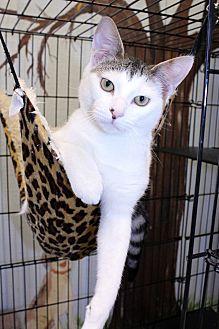 Domestic Mediumhair Cat for adoption in Lumberton, North Carolina - Mickey
